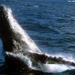 História viajante: Natália Ribeiro e as baleias turistas chegando na Bahia